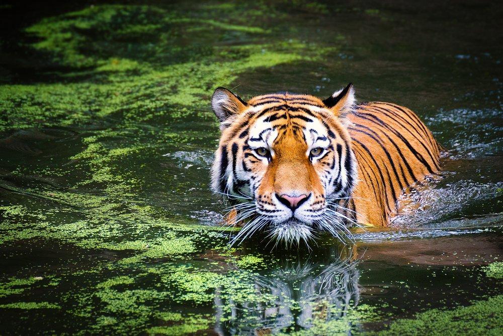 tiger-2535888.jpg