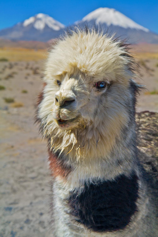 Andean Mascot (IP & PS)22.jpg