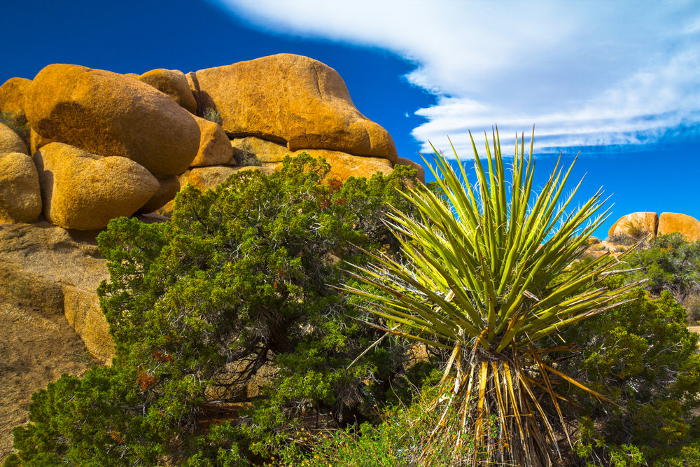 Yucca Plant2.jpg