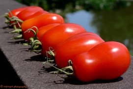 Roma - San Marzano heirloom variety. The quintessential sauce tomato. 78 days from transplant to harvest.