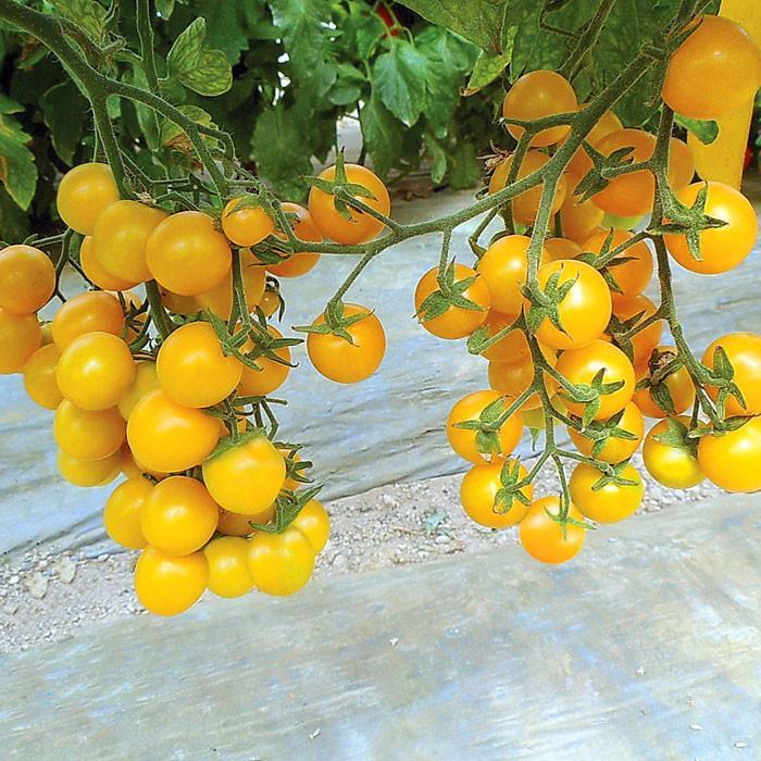 Esterina - pretty yellow cherry tomatoes