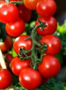 Sweet Apertif - prolific producer of medium sized red cherry tomatoes