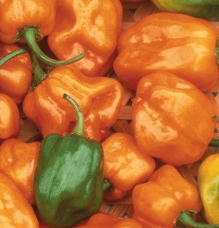 Habanero - Not for the timid!