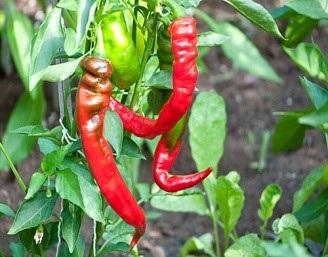 Jimmy Nardello - Farm Favorite! Sweet Italian frying pepper