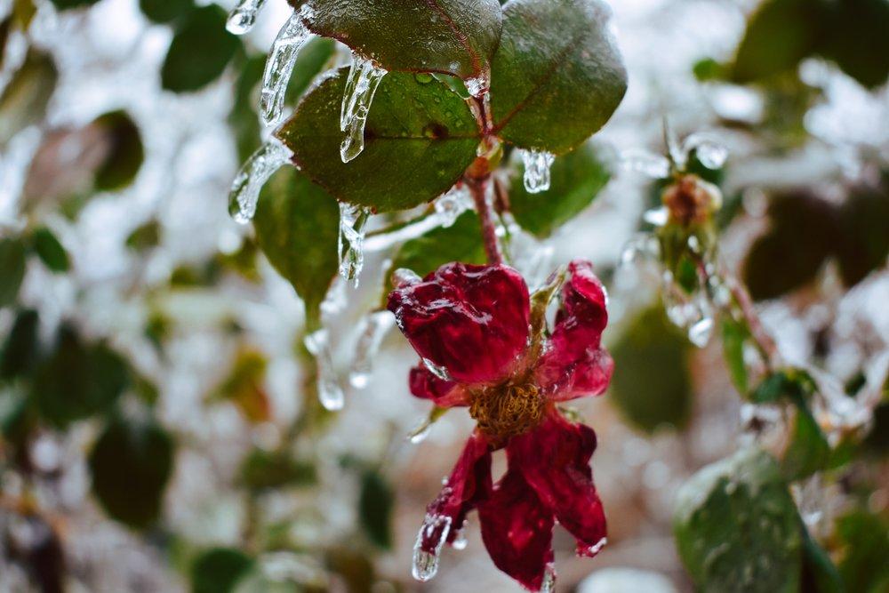 F_NagvajaraT_Rosaceae (2).JPG