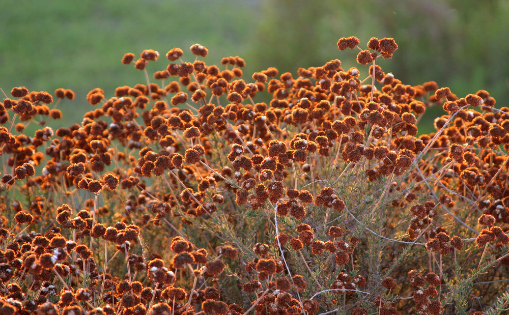 Beautiful California buckwheat providing fall color and food for local birds