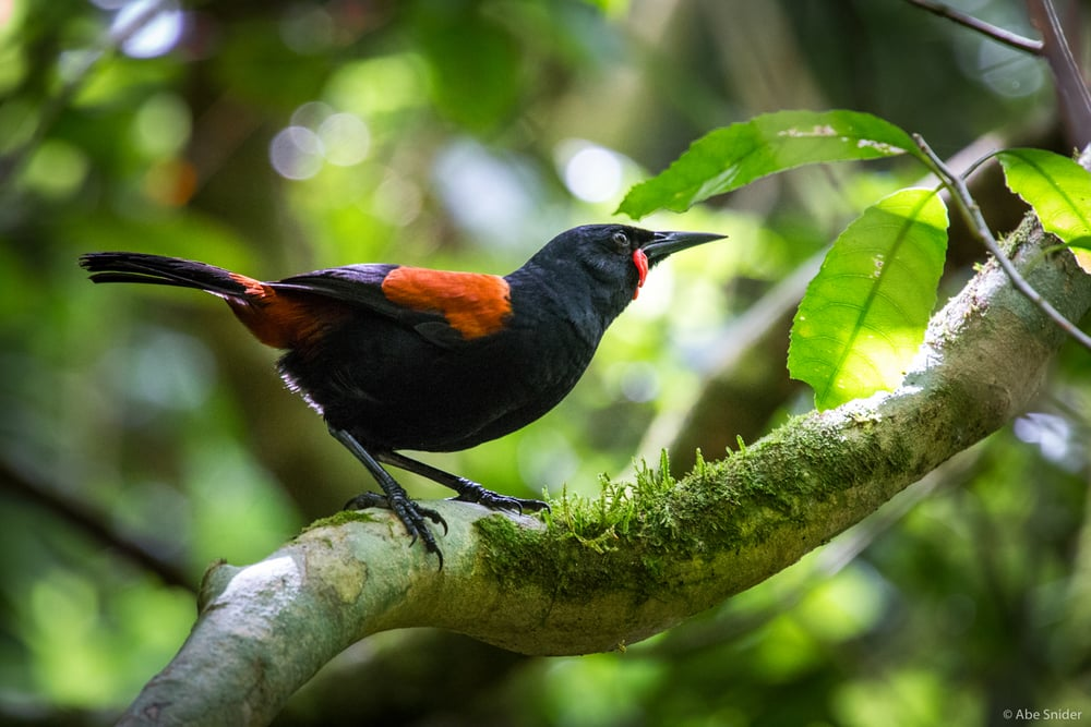 New Zealand Saddleback