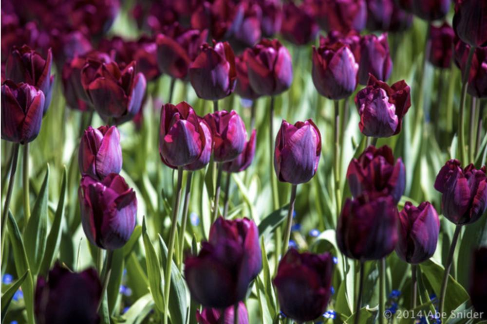 Tulip Sunday in Wellington!
