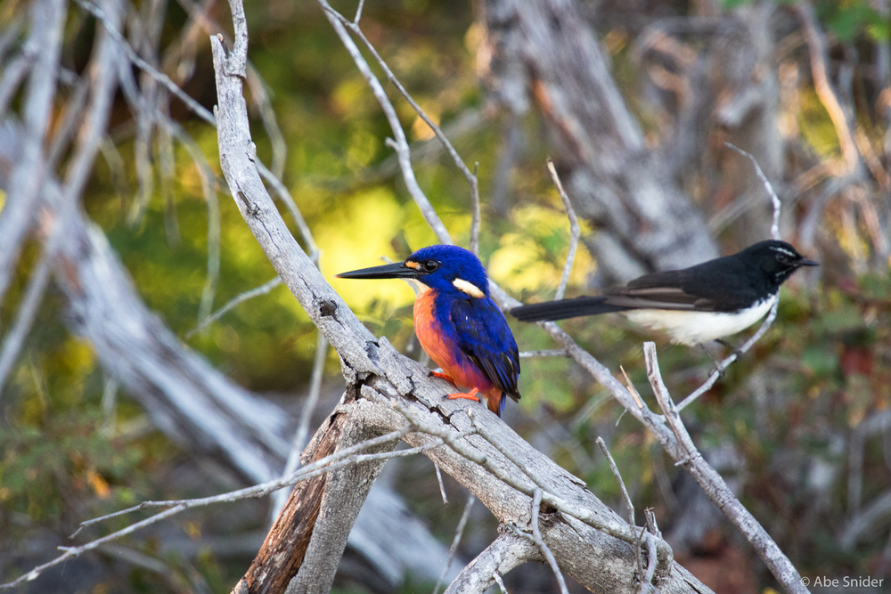 A fly catcher pauses behind an azure kingfisher.