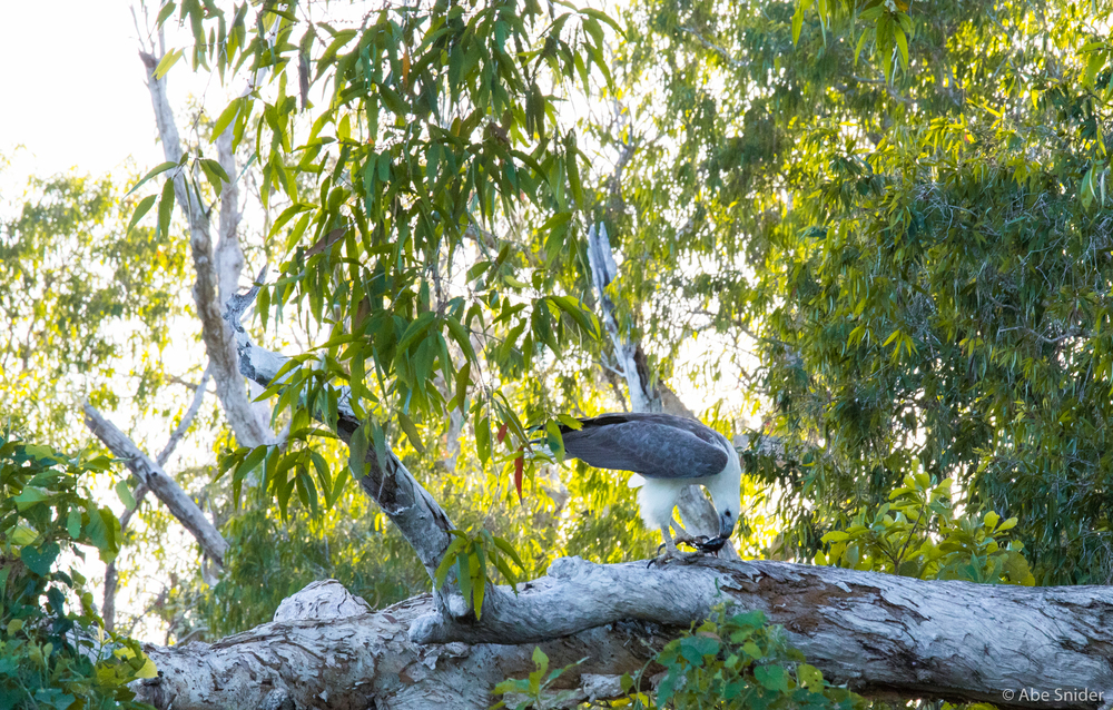 There were so many white bellied sea eagles in the park. This one had just scooped up a fish in front of a small fishing boat to show off.