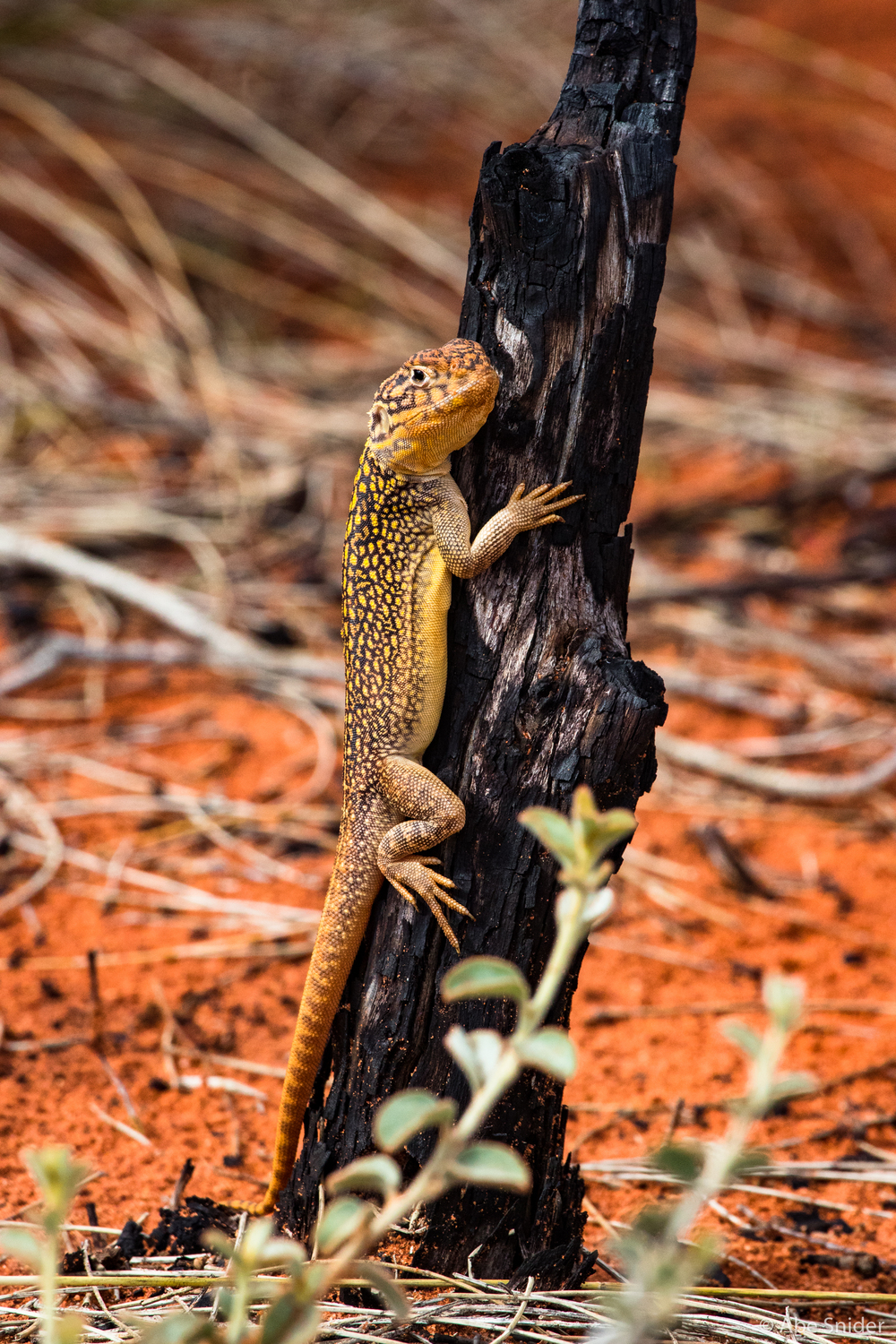 We caught this fairly large lizard sunbathing on some recently burned bush.
