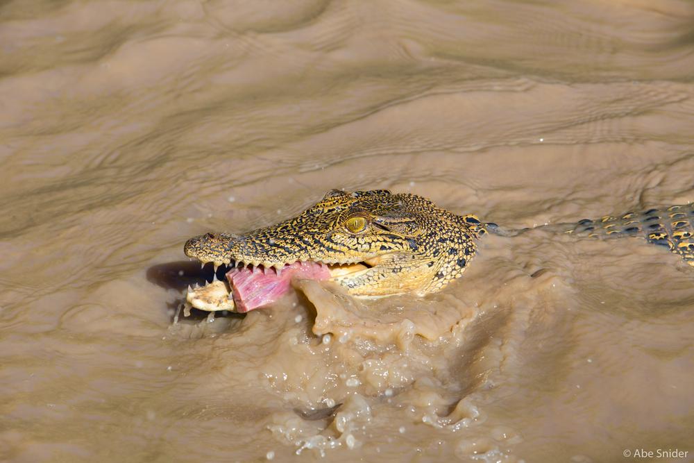 Son croc