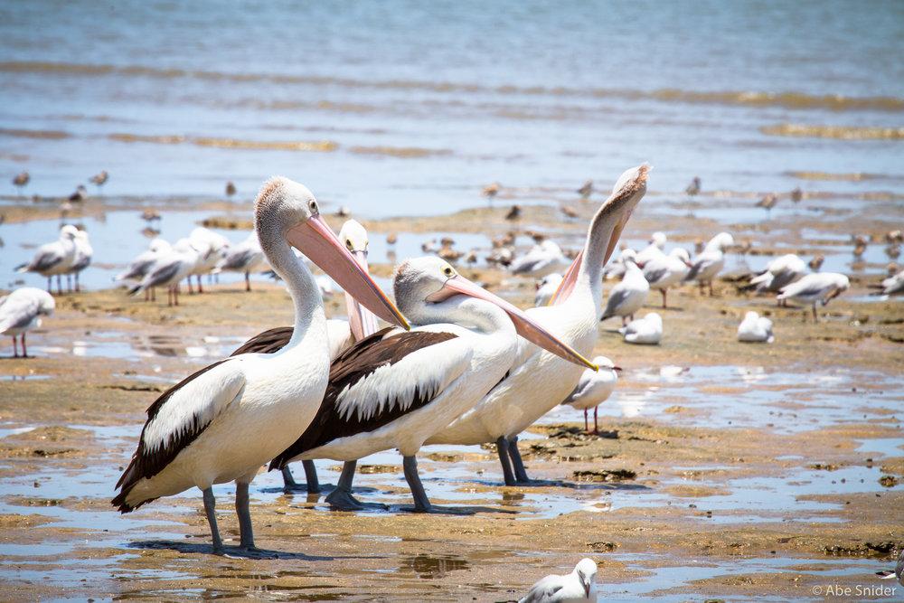 Pelicans - Cairns, Australia