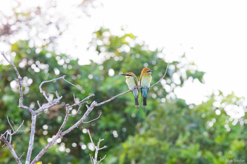 Rainbow Bee-eaters