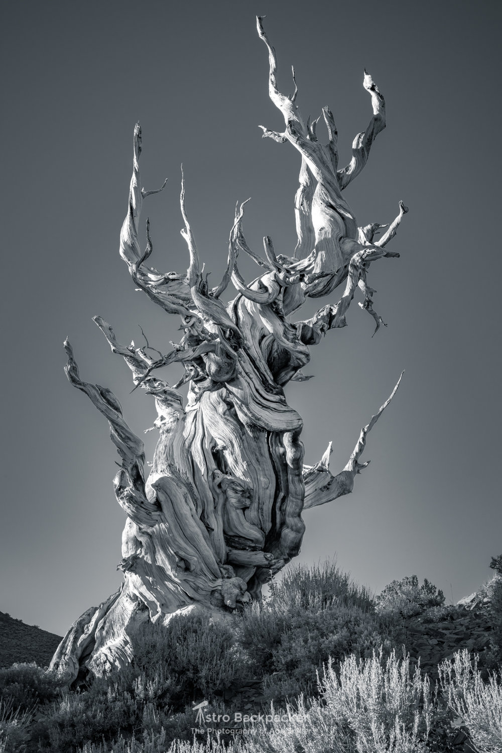 Ancient Bristlecone Pines in the Sierra Nevadas.