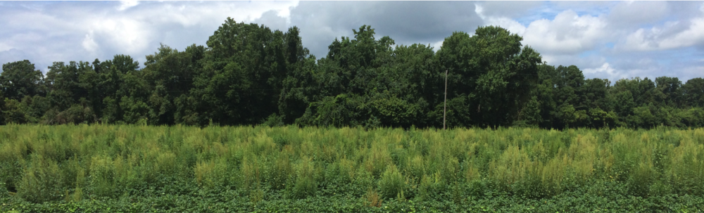 Palmer amaranth infesting a North Carolina cotton field in 2014