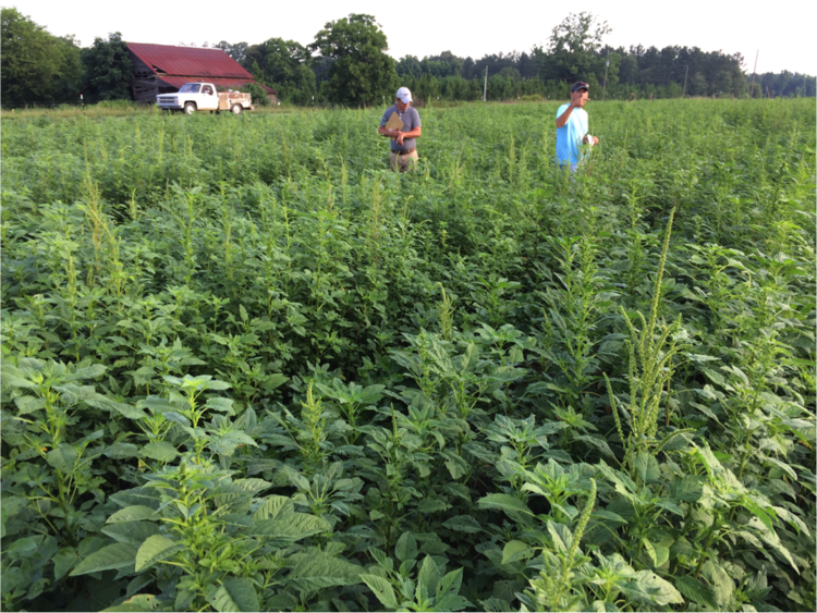 Palmer amaranth in research trials in Georgia