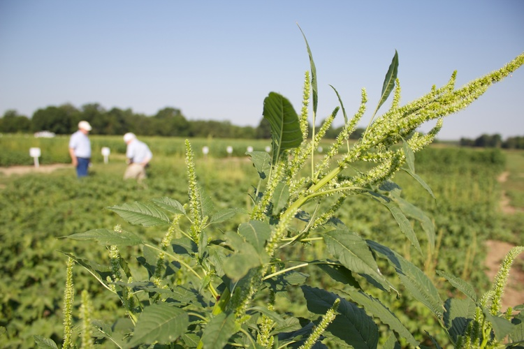 "Palmer Amaranth, now voted ""Most Troublesome Weed"" in U.S. for 2016. Brake Herbicide."