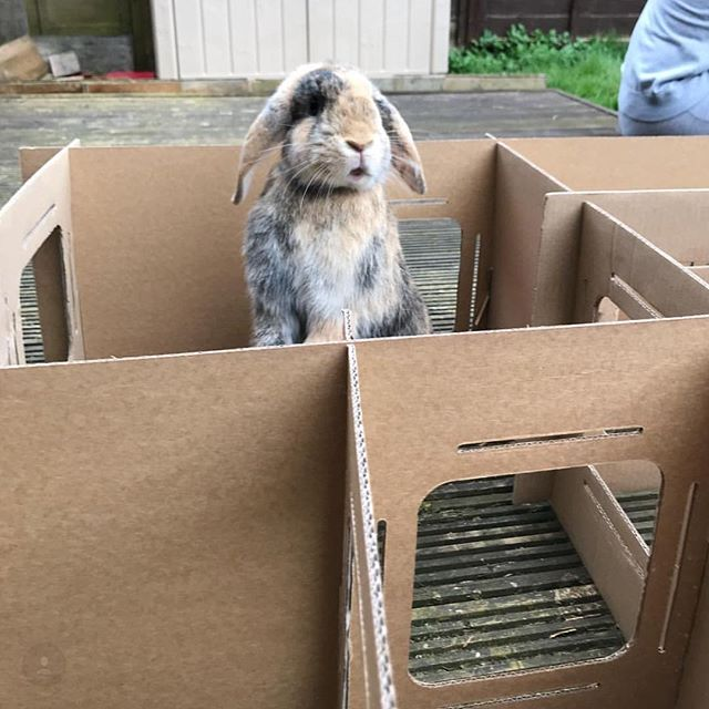 I CAN SEE THE WEEKEND! 🤣🙌🏼🎉 • •  Many thanks to @four_lops_and_a_lion for the amazing photo of the lovely Poppy 🐰💜 #houserabbitsofinstagram #housebunniesinternational #housebunniesofinstagram #love #lop #minilop #cute #icanseetheweekend #fluffy