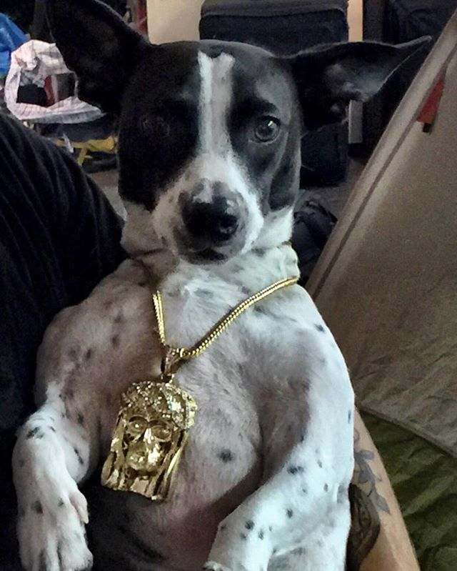 #tbt to the day so-cal got his first chain!  #goodvibes #art #smile #love #animals #dog #puppy #instagood #photooftheday #gold #jewelry #jesus #piece