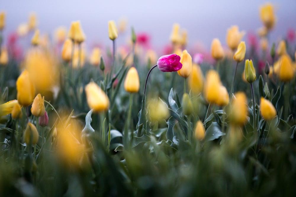 tulip-festival-2015-18.jpg