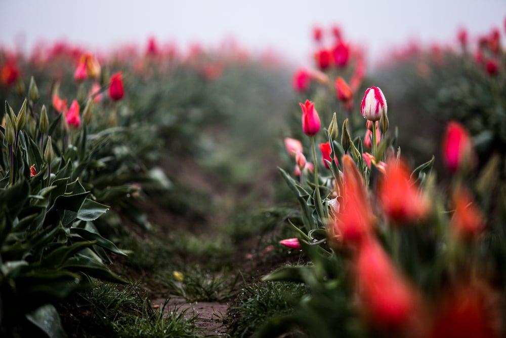 tulip-festival-2015-27.jpg