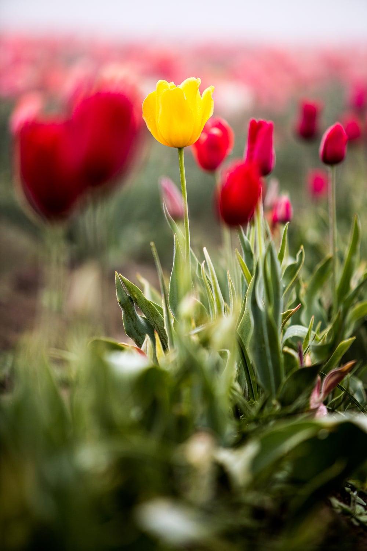 tulip-festival-2015-29.jpg