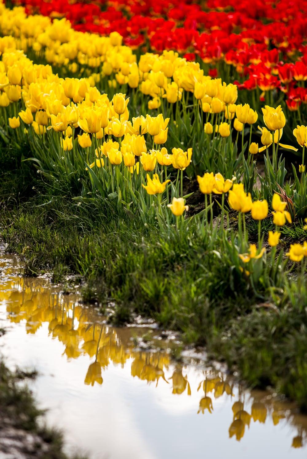 tulip-festival-2015-68.jpg
