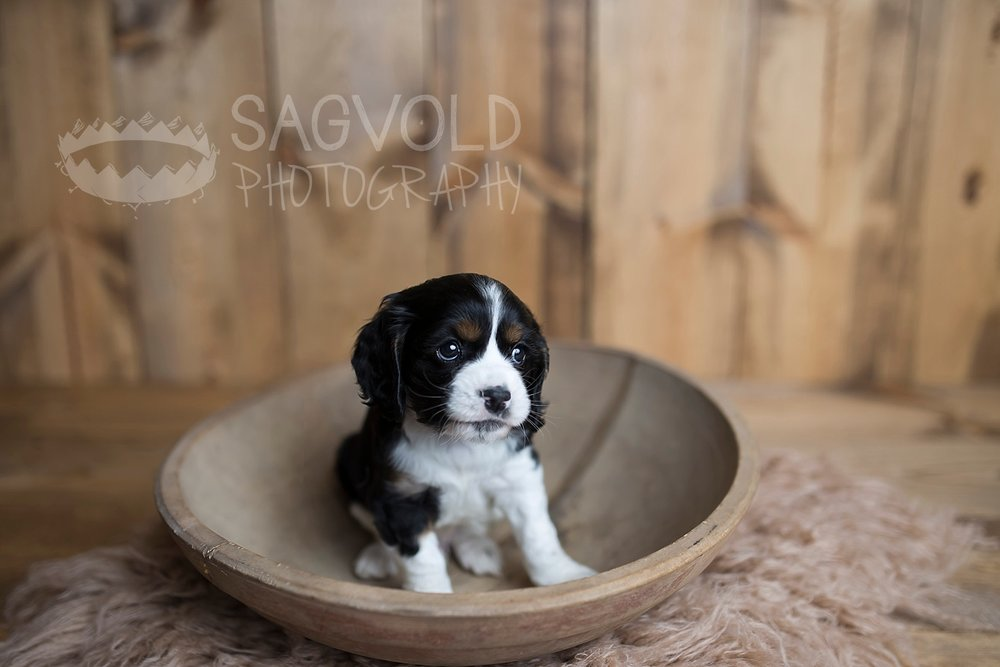 Pet picture newborn Cocker Spaniel Fargo ND pet photographer Janna Sagvold Photography