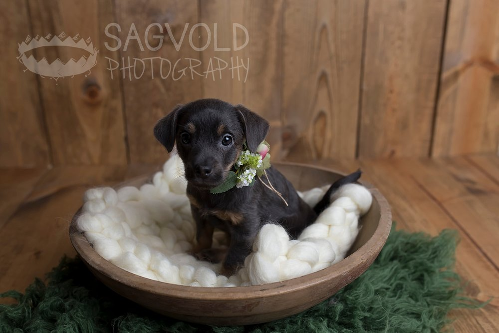 Newborn puppy picture Fargo ND pet photographer Janna Sagvold Photography
