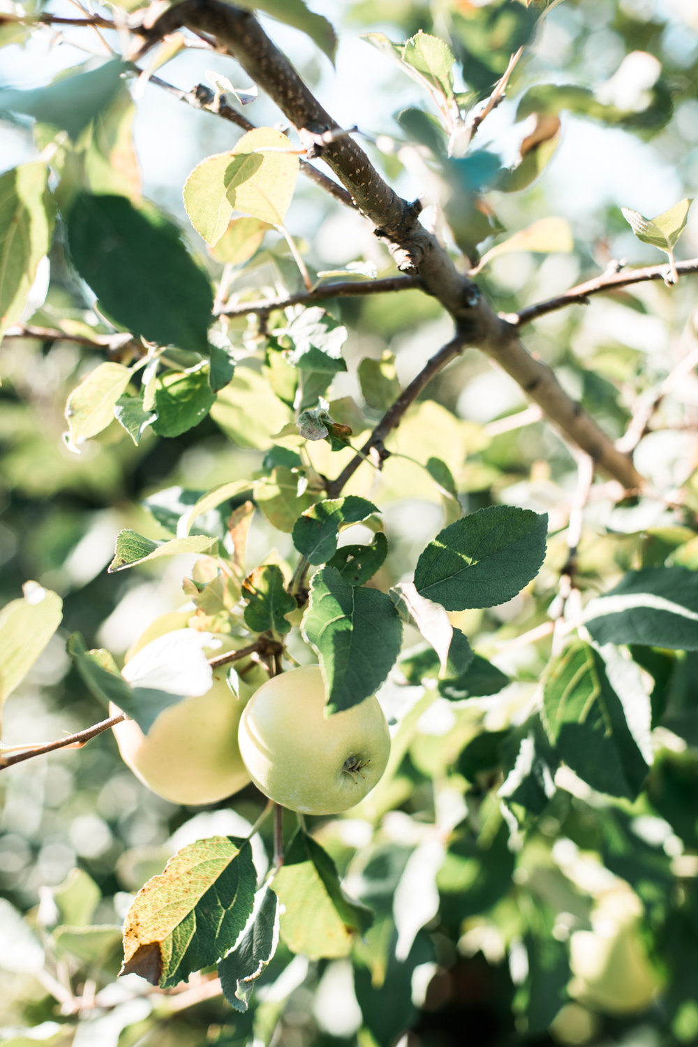 apple-picking-5.jpg