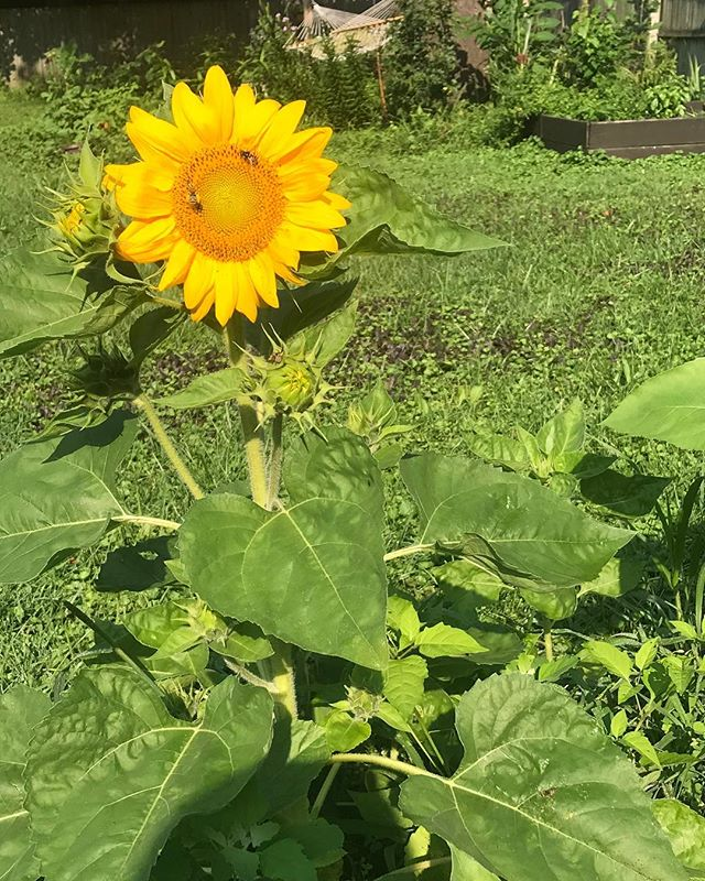 I hope everyone has a wonderful weekend and gets to enjoy the morning sunshine as much as this sunflower! Morning sunshine and coffee are the perfect pair!  #kalamazoo #michiganmade #euphoriacoffee #discoverkalamazoo #westmichigan #kzoo #coffee #michigancoffee #sunflower #sunshine