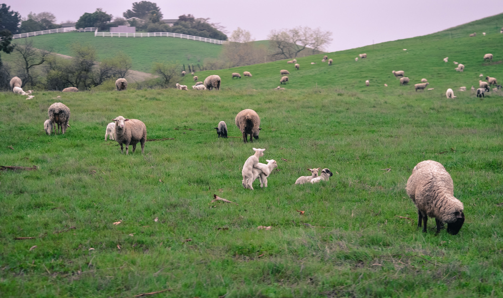 ^^ when you try to snap a photo of the beautiful sheep and the babies start humping ....