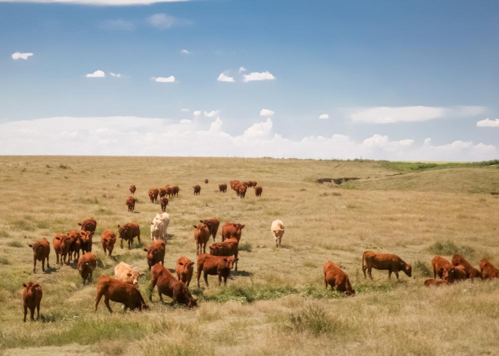 cows-in-field-3.jpg
