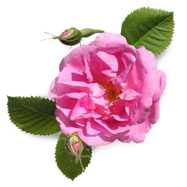 Rosy Cheeks2.jpg