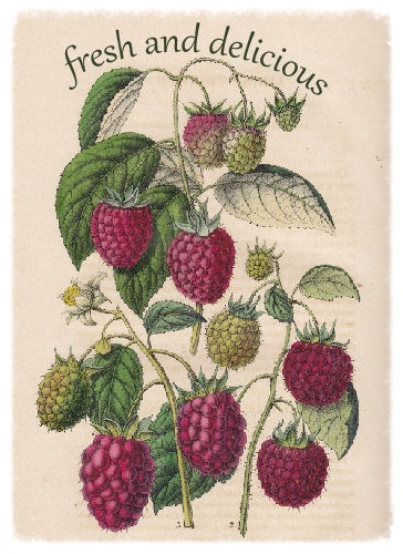 graphic background: Raspberry from old Belgian book. 'Belgique horticole' by Charles Morren Liége 1851.
