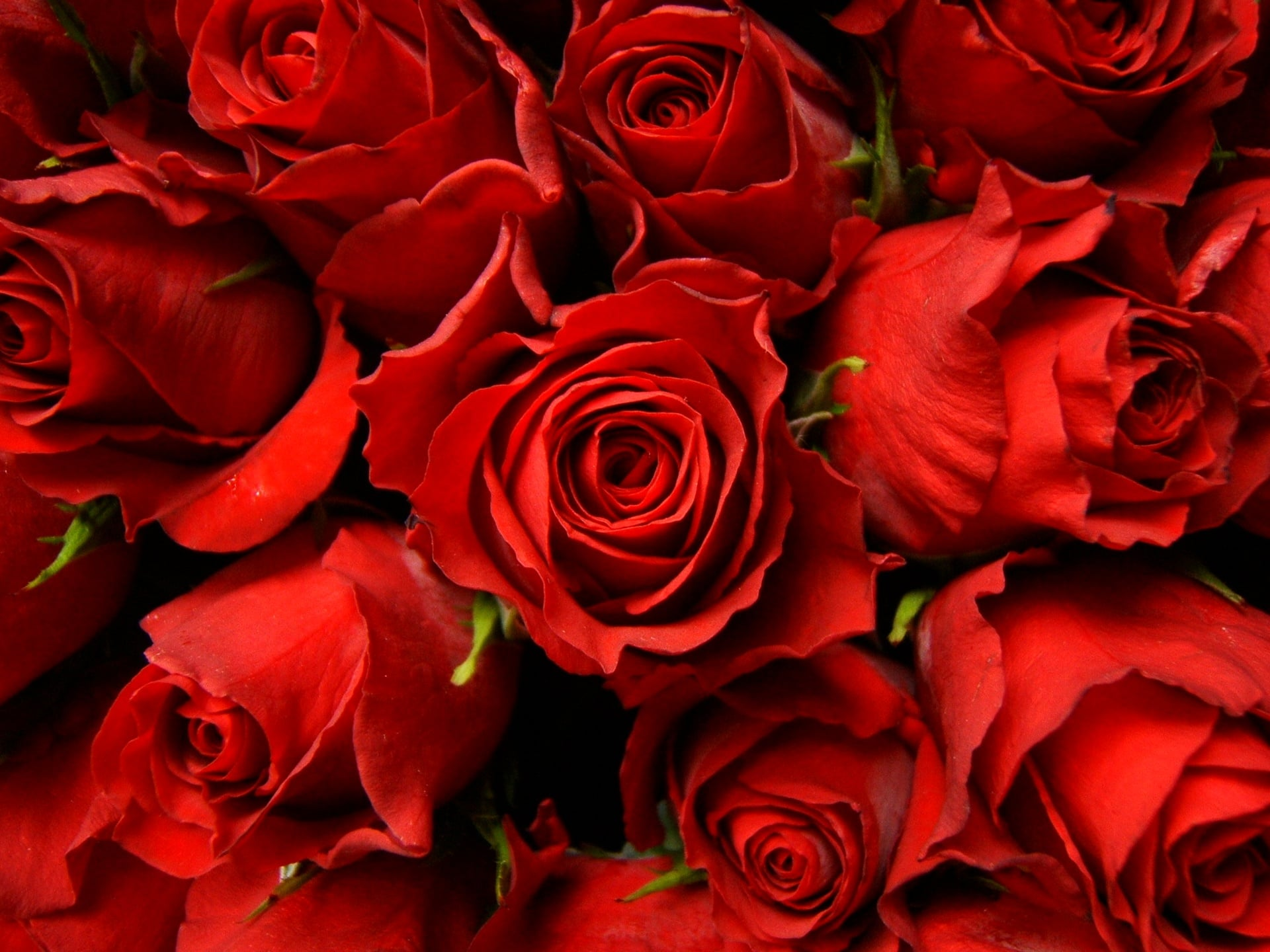 Red Roses Desktop Background