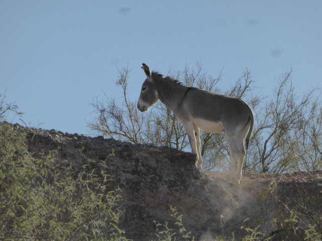 wild burro 1.JPG