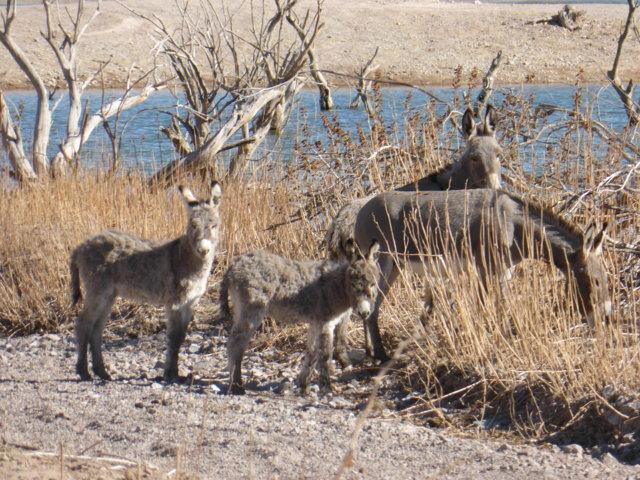 wild burro 5.JPG