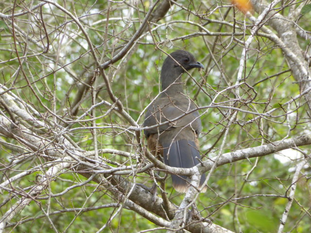 Plain Chachalaca 2018 TX feb 7.JPG