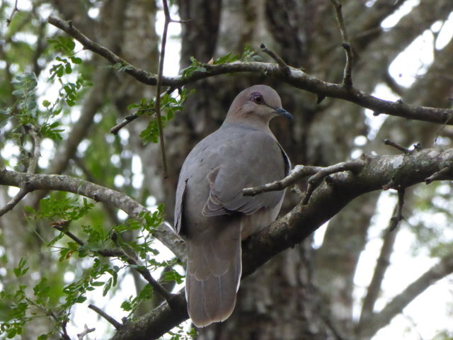 White-tipped Dove 2018 TX feb 7.JPG