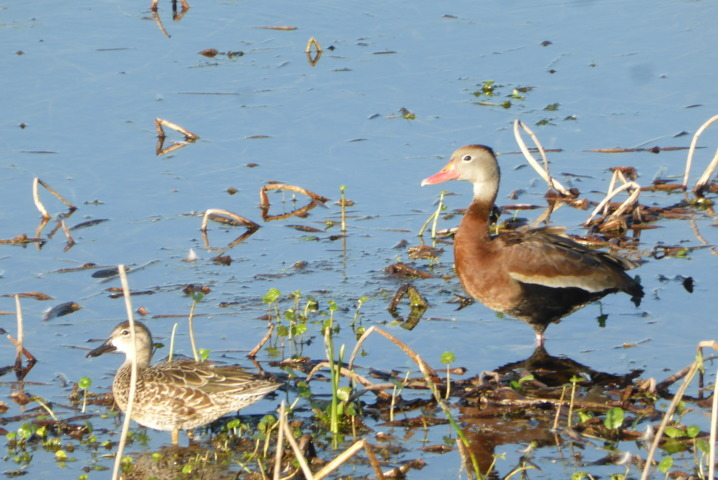 Black-bellied Whistling Duck (and female Blue-winged Teal)
