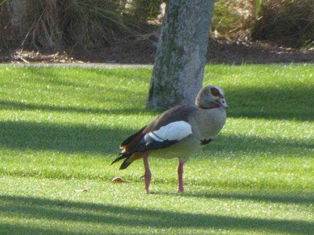 Egytpian Goose