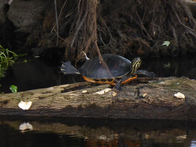 Turtle  - doing yoga?