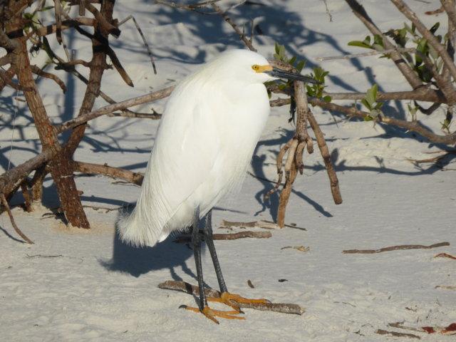 19.  Snowy Egret (again)