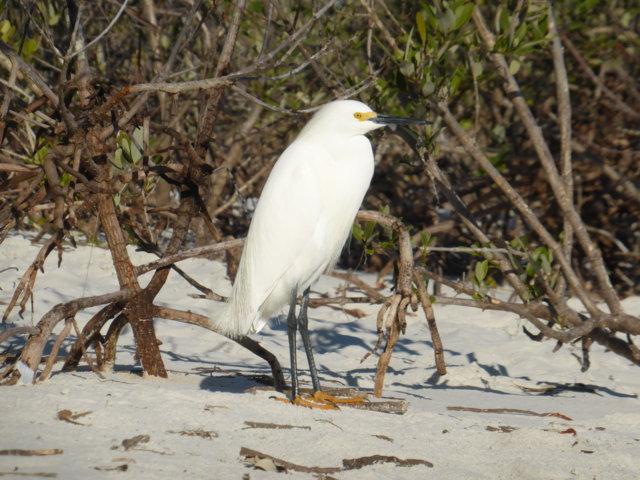 10. Snowy Egret
