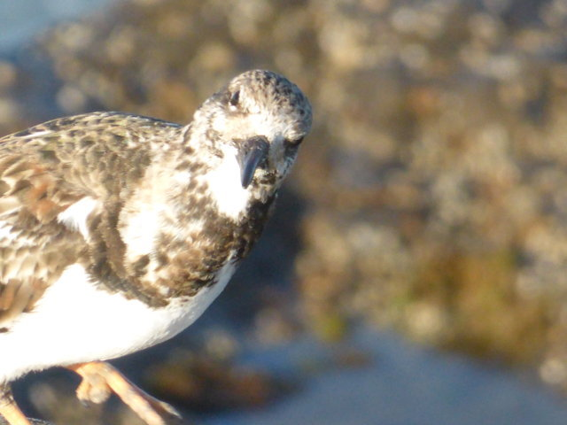 3. Ruddy Turnstone