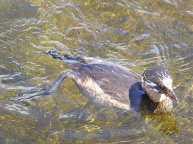 7.  Pied-billed Grebe