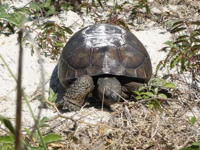 11. Gopher Tortoise