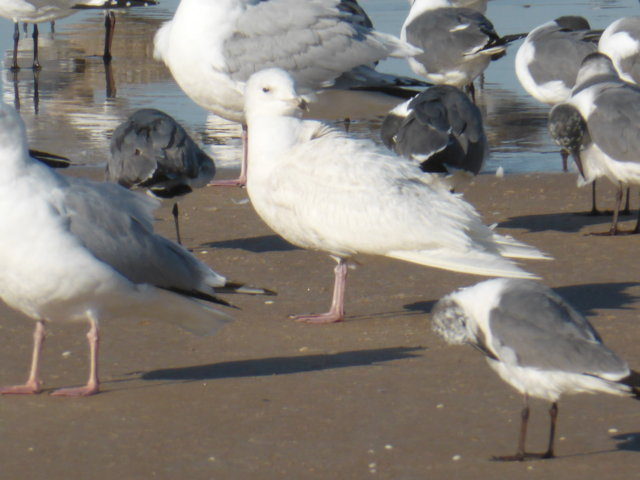 Iceland Gull (immature light bird)